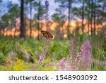 A Monarch Butterfly In A Flowe...