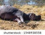 Hippopotamus Carcass Eaten By...