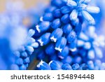 Blue Muscari Flowers  Grape...