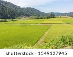Summer View Of Countryside Rice ...