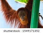 Orangutan Hanging In The Zoo...