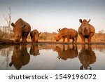 Four White Rhinos At A Water...