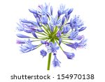 Bright Blue Agapanthus Flower....
