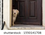 White Dog Peeking In Door Of...