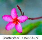 Pink Calachuchi Flower In Focus