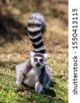Ring Tailed Lemur Staring At...