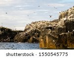 Razorbills  cormorants  puffins ...