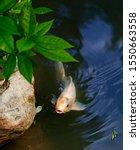 Exotic Koi Fish Carp Swimming...