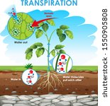 diagram showing transpiration... | Shutterstock .eps vector #1550905808