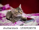 Stock photo the striped kitten lies on a pink blanket the kitten put a paw on the smartphone phone sad kitten 1550928578