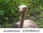 Ostrich Bird Head And Neck...