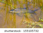 Small photo of ichthyology, aquatic science, fisheries, ichthyofauna, species of freshwater fish, non-predatory fish, White-eye (white-eyed bream, Abramis sapa) fish underwater