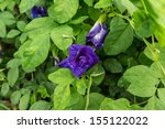 blue pea flowers or clitoria... | Shutterstock . vector #155122022