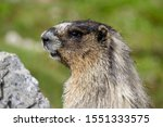 A whistling hoary marmot with distinctive markings seen at Helen Lake, in Banff National Park.
