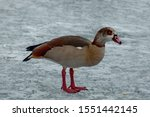 Egyptian Goose On The Surface...