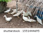 Group Of White Muscovy Duck Or...