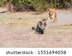 Small photo of Lioness chase, lioness starting chase on warthog