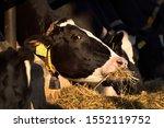 Cow Eats Silage  Feeding In...