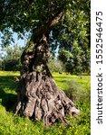 Old Evergreen Oak  Quercus Ile...