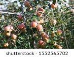 YeongCheon in South Korea Apple tree harvest