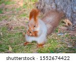 Red Squirrel Eat Nut On The...