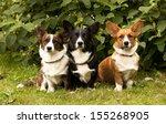 Three Welsh Corgi Pembroke Dog...