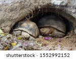 Stock photo african spurred tortoise at burrow entrance big geochelone sulcata in hollow the african spurred 1552992152