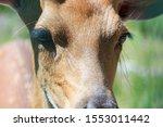 Capreolus Is A Genus Of Deer...