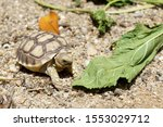 Stock photo close up african spurred tortoise resting in the garden slow life africa spurred tortoise 1553029712