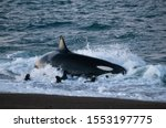 Killer Whale Hunting Sea Lions...