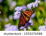 Monarch Butterfly On Gregg\'s...