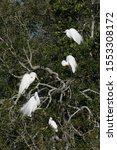 Group Of Great Egrets   Ardea...
