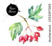 watercolor hawthorn berries... | Shutterstock . vector #1553397005