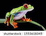 Red eyed tree frog   agalychnis ...