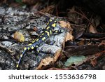 Close Up Of Spotted Salamander...