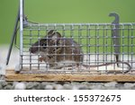 Mouse In A Live Catch Trap