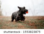 The Scottish Terrier Dog At...