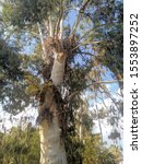 Small photo of huge eucalyptus tree called shameless