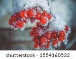 Red Berries Of Viburnum In...