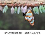 Stock photo rows of butterfly cocoons and newly hatched butterfly 155422796