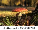 Closeup Of Large Fly Agaric...