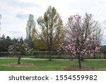 Flowering Magnolia Tree In...