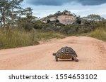 Stock photo leopard tortoise crossing safari gravel road in kruger national park south africa specie 1554653102