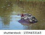 Hippopotamus Carrying A Group...
