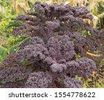 Home Grown Organic Purple...