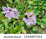 eichhornia  water hyacinth.... | Shutterstock . vector #1554897332
