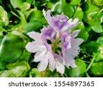 eichhornia  water hyacinth.... | Shutterstock . vector #1554897365