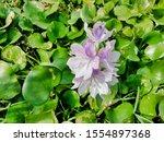 eichhornia  water hyacinth.... | Shutterstock . vector #1554897368