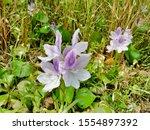 eichhornia  water hyacinth.... | Shutterstock . vector #1554897392