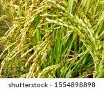 rice tree nature rice fields.... | Shutterstock . vector #1554898898